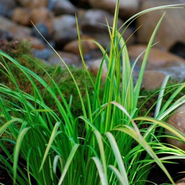 Complete Water Plant Pond Kit - Acorus Pontederia and Iris