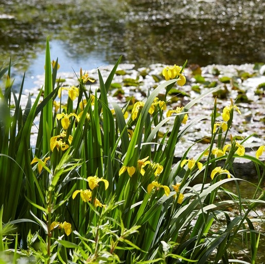 Complete Water Plant Pond Kit - Yellow Iris