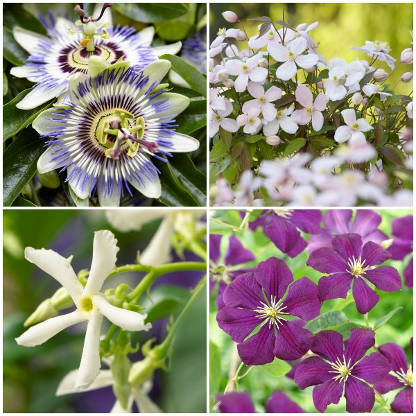 Flowering Pergola Collection   Jasmine, Clematis, and Passion Flower Mix   3 x 3L Pots